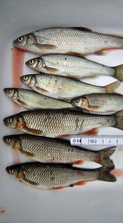 Wirtsfische